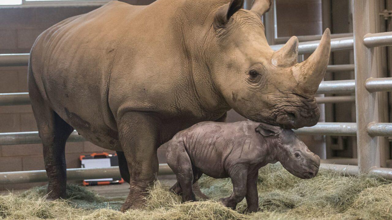 san diego zoo rhino calf born_1.jpg
