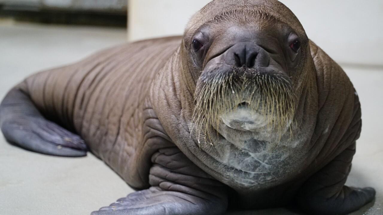 Whiskered baby walrus 5.jpg