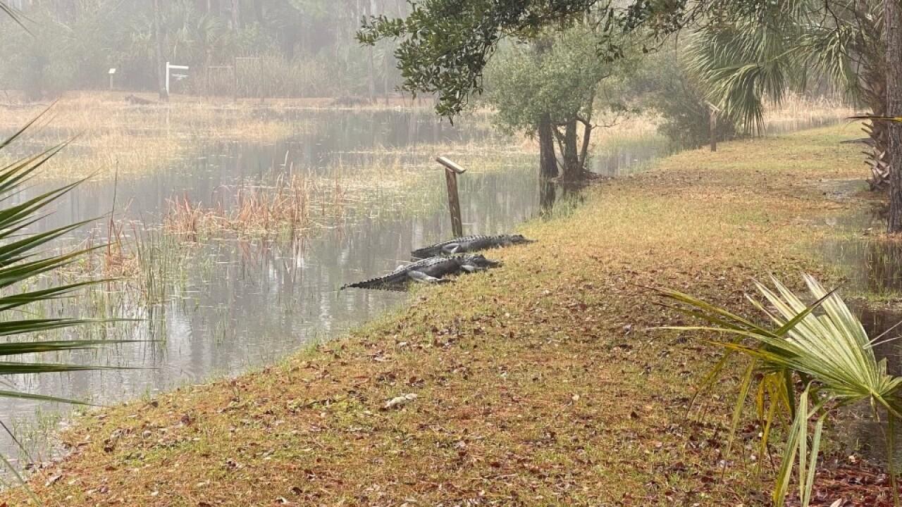 St. Mark's Wildlife Refuge Alligators