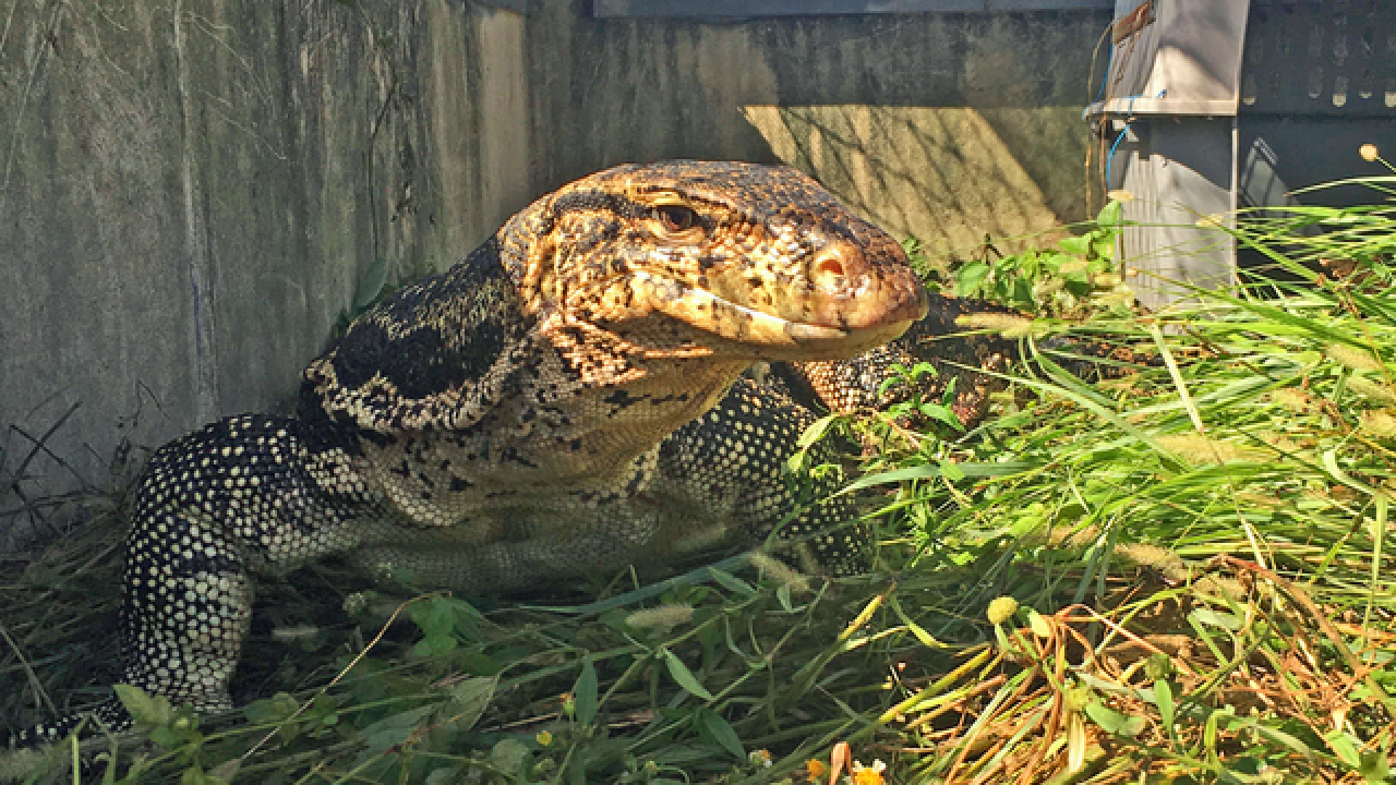 Officers catch huge Asian water monitor lizard that terrified South Florida neighbors