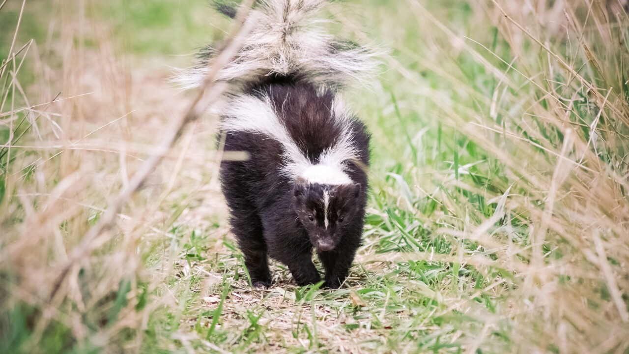 Skunk found in Suffolk tests positive for rabies