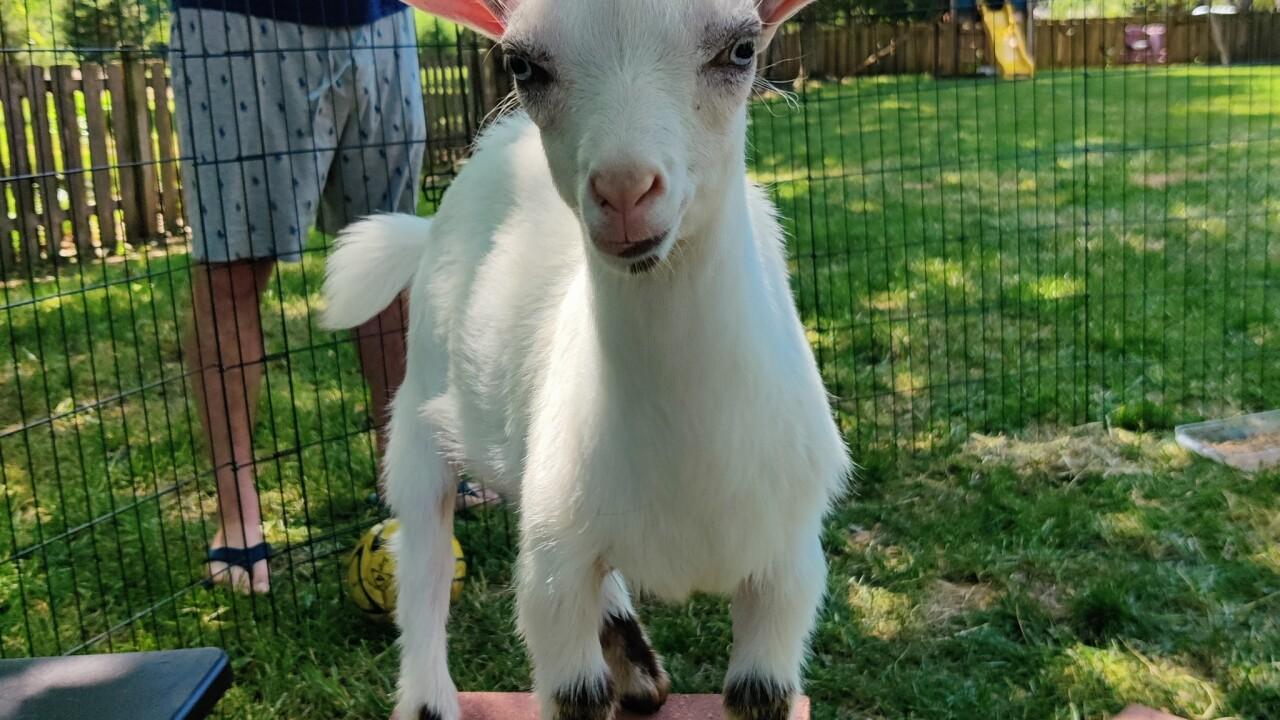 OP goats 4.jpeg