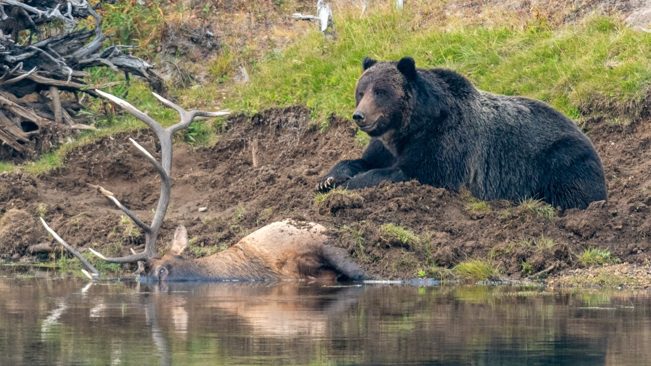 Caught on camera: Grizzly bear in Yellowstone National Park makes feast of bull elk