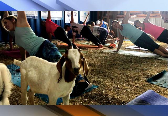 PHOTOS: Goat yoga at Hat Trick Ranch