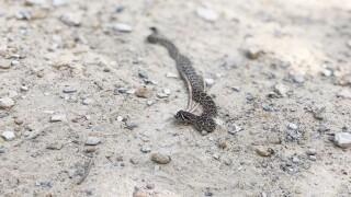 Snake on Dakota Ridge Trail.jpg