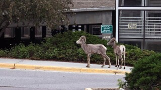 University of Montana Rams? No, but sheep make rare appearance on campus