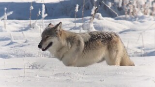 Face The State: Wolves in Yellowstone