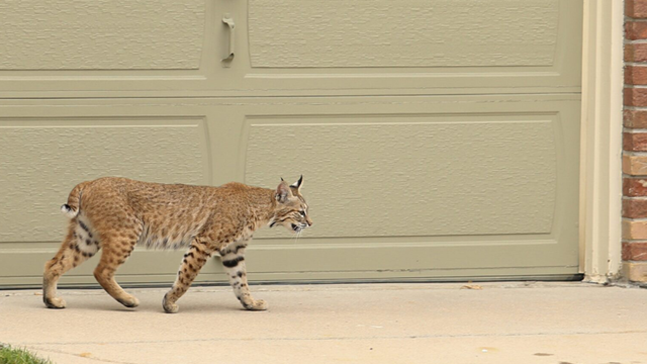 Tips to protect your yard after bobcat sighting sets ...