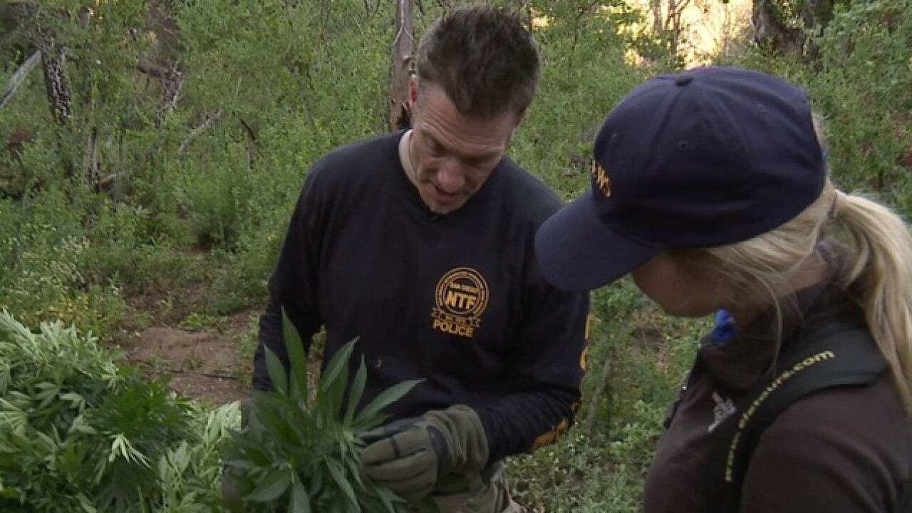 Video: Dangerous raid of massive hidden pot grow