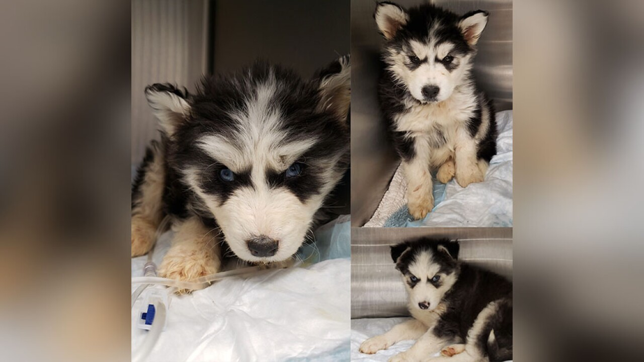 Husky puppies found living in own filth in Baltimore, donations needed.jpg
