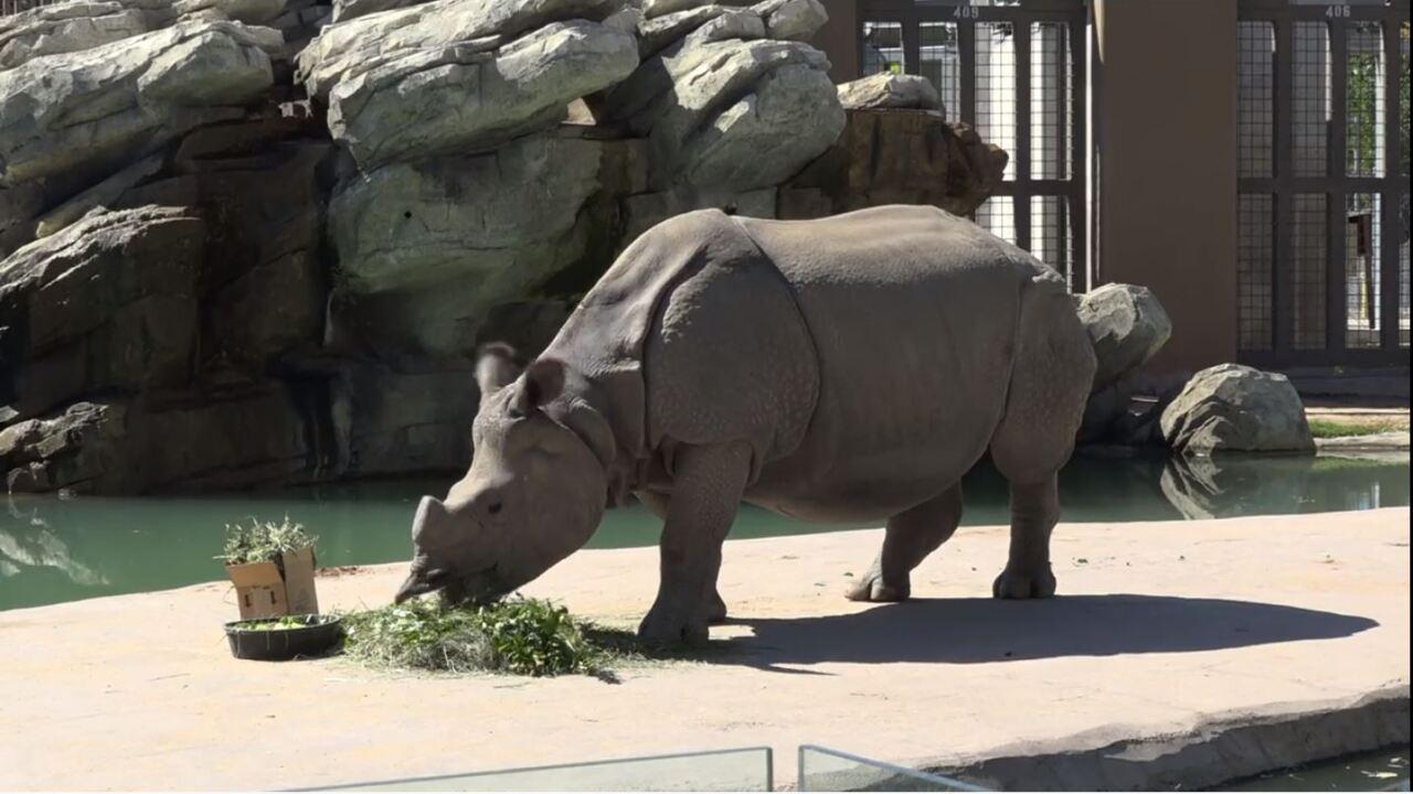 Tensing, Denver Zoo's pregnant, greater one-horned rhino
