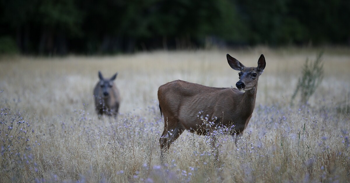 'Zombie deer disease' hits wildlife in 24 states - The Denver Channel image