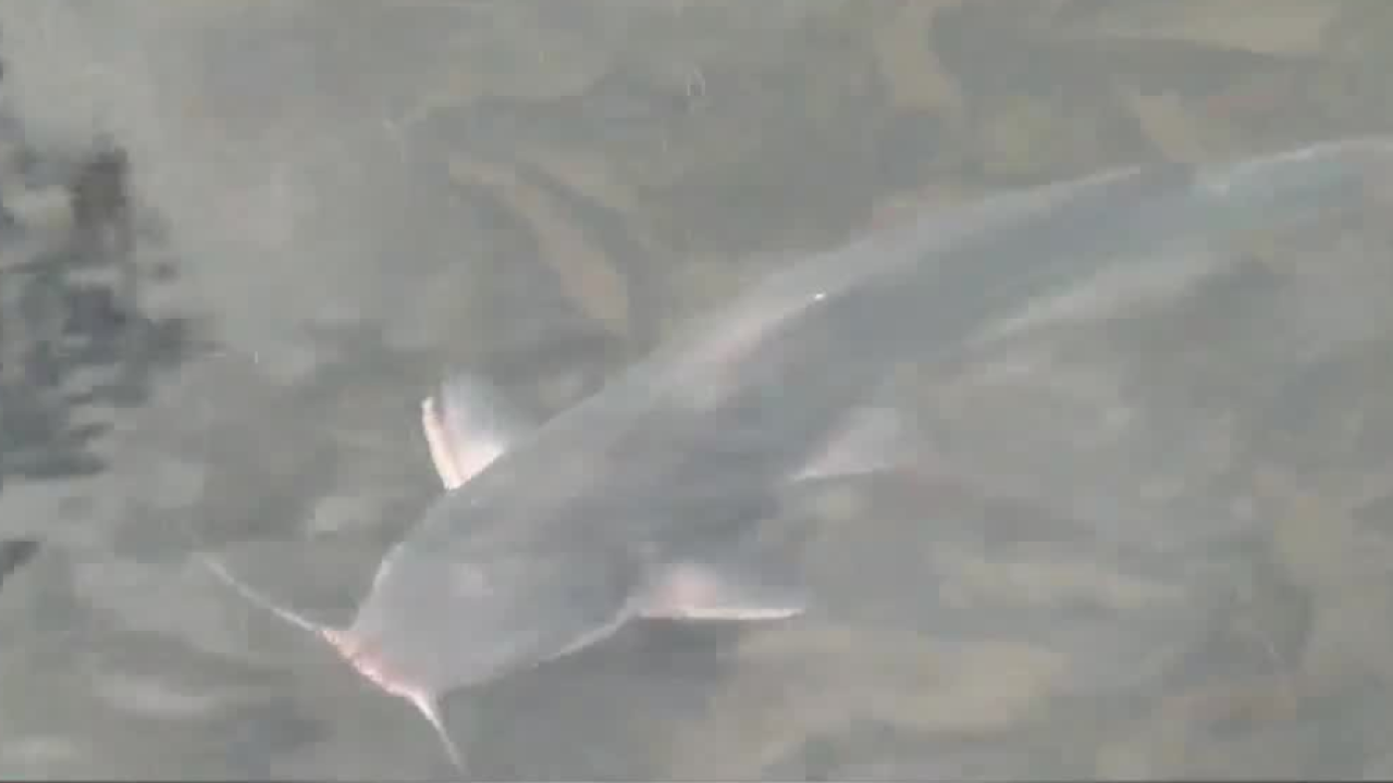 Channel Catfish.PNG