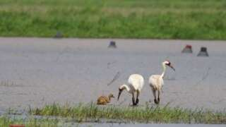 $7,500 reward offered for information on shooting of endangered whooping crane