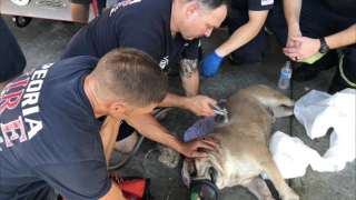 Peoria firefighters save bulldog