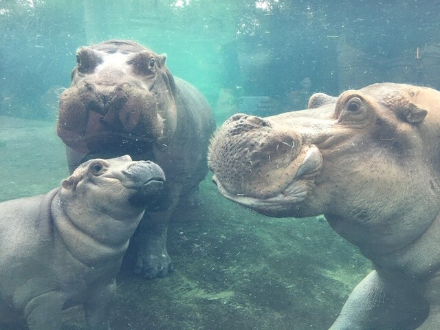 Fiona reunites with mom, dad at Cincinnati Zoo's Hippo Cove