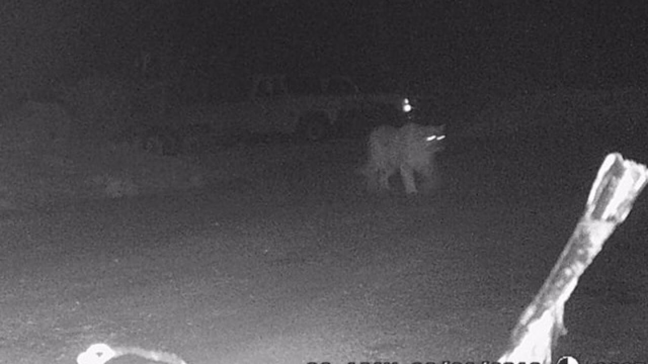Cougar sighting in M. Falls has locals surprised