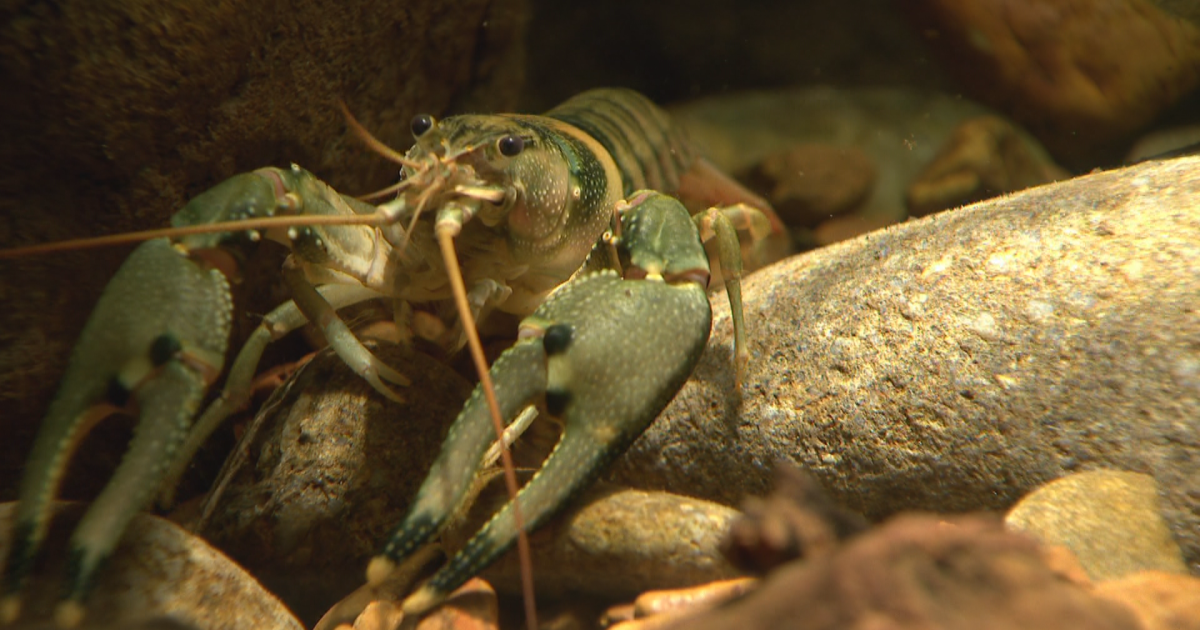 Nashville crayfish could leave Endangered Species list