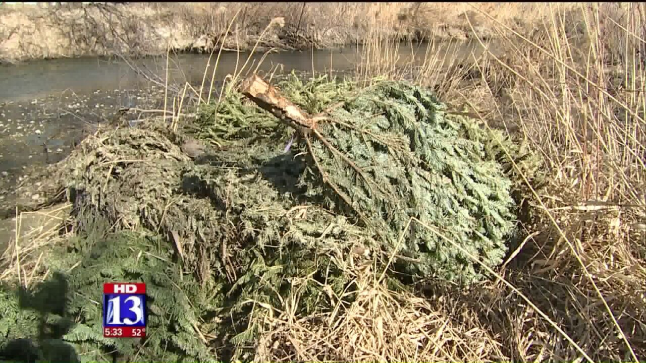 Hundreds of recycled Christmas trees put to work along Jordan RiverTrail