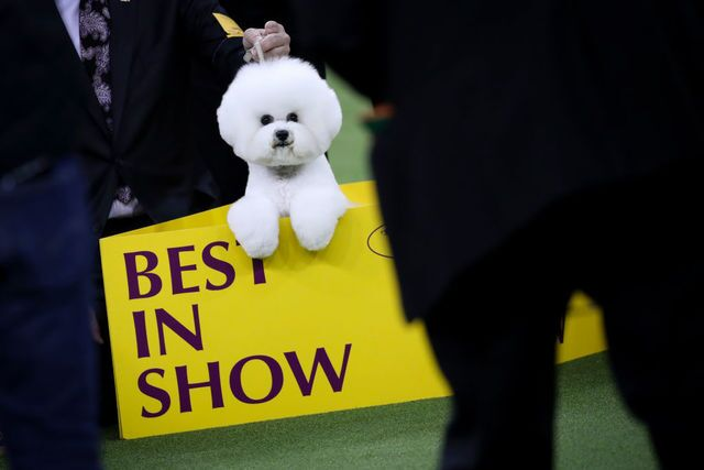 Photos: Flynn the Bichon Frise wins Best in Show at Westminster Dog Show