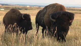 APR Wild Bison.jpg