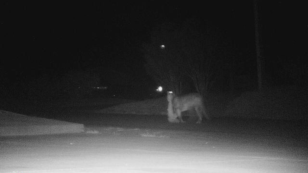Mountain lion sightings near Tehachapi