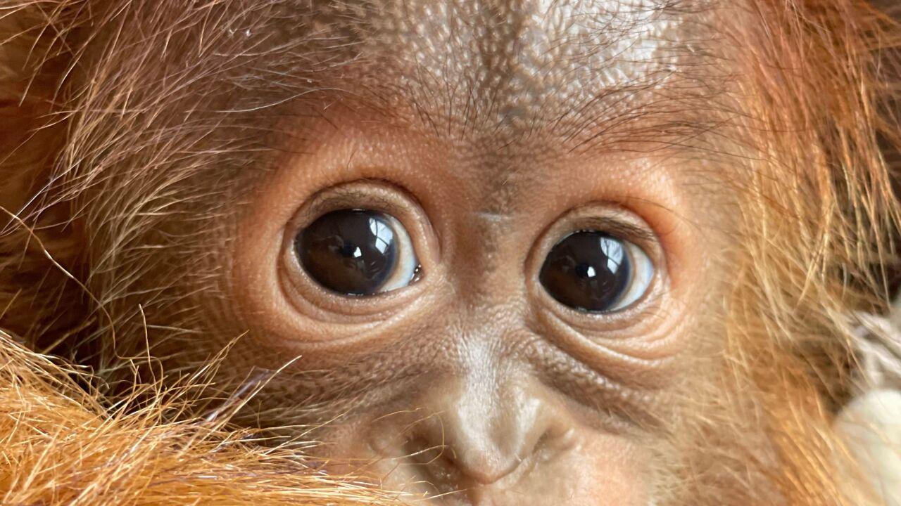 Baby Orangutan Metro Richmond Zoo.jpeg