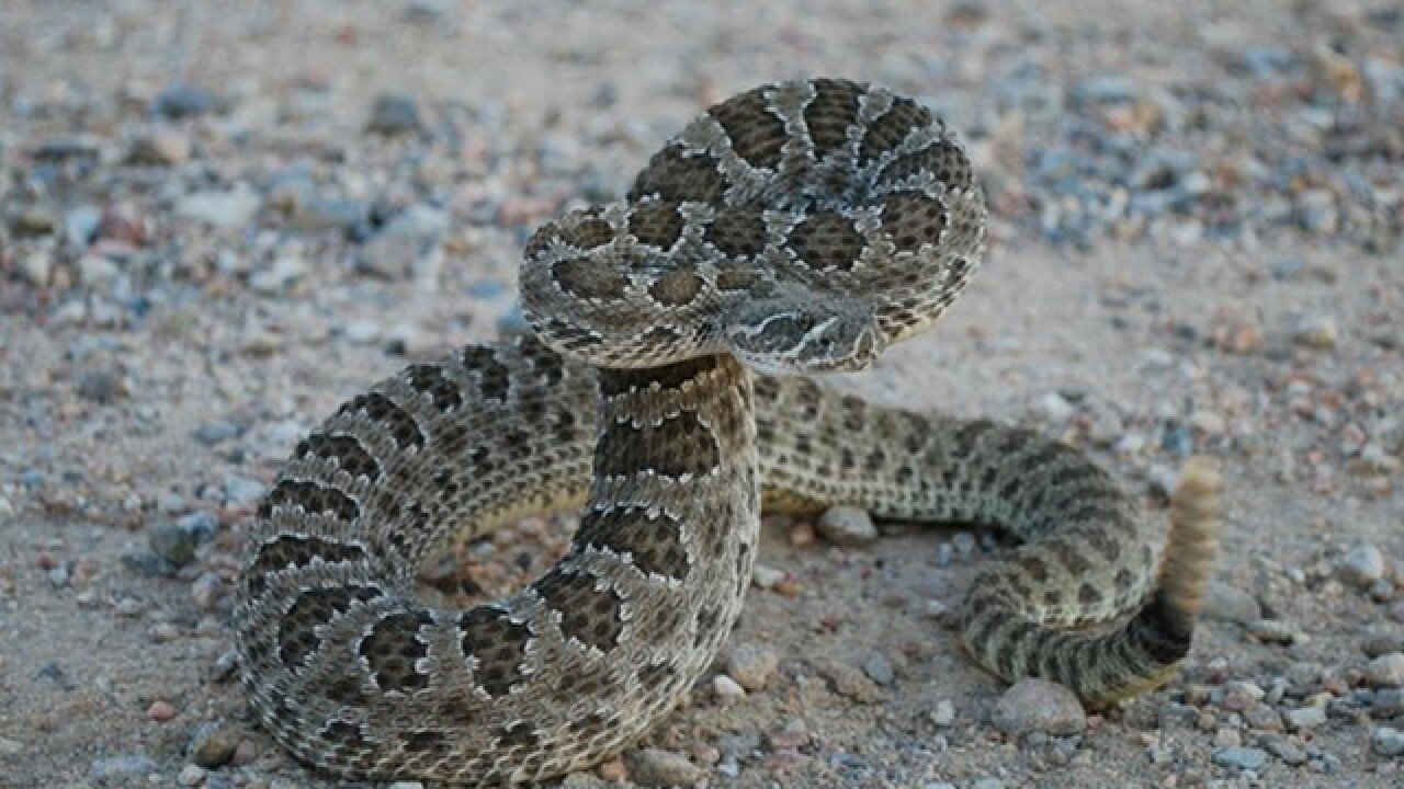 Rattlesnakes force trail closure at North Table Mountain