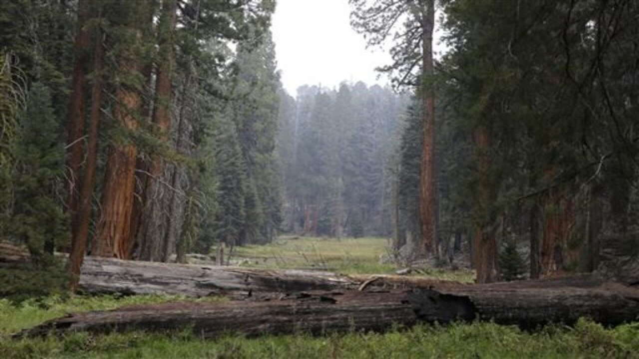 Drought is stressing California's Giant Sequoias