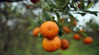 wptv-oranges-.jpg