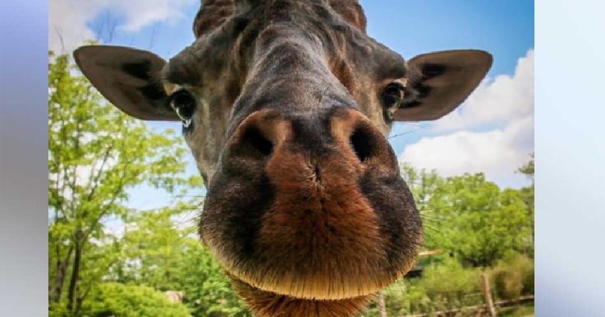 Kimba the giraffe dies at the Cincinnati Zoo - WCPO