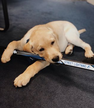 A Yellow Lab Puppy Named Bolt Is The Newest Member Of The Tampa Bay Lightning