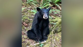 Black bear in Oregon euthanized after it became too friendly to tourists who fed it