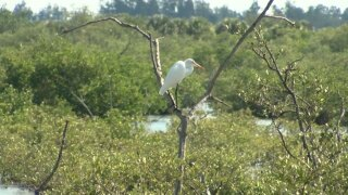 WPTV bird on a tree in Pelican Island refuge
