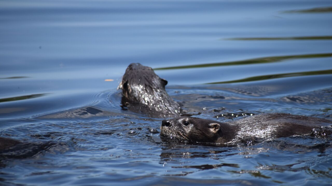 Otters released