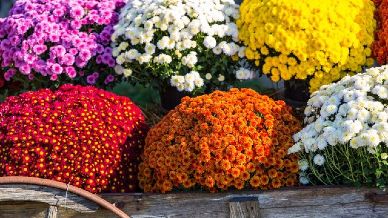 Time For Fall Flowers: 3-Quart Mums Are Just $4 At Lowe's