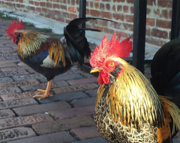 PHOTOS: The wild chickens of Ybor City