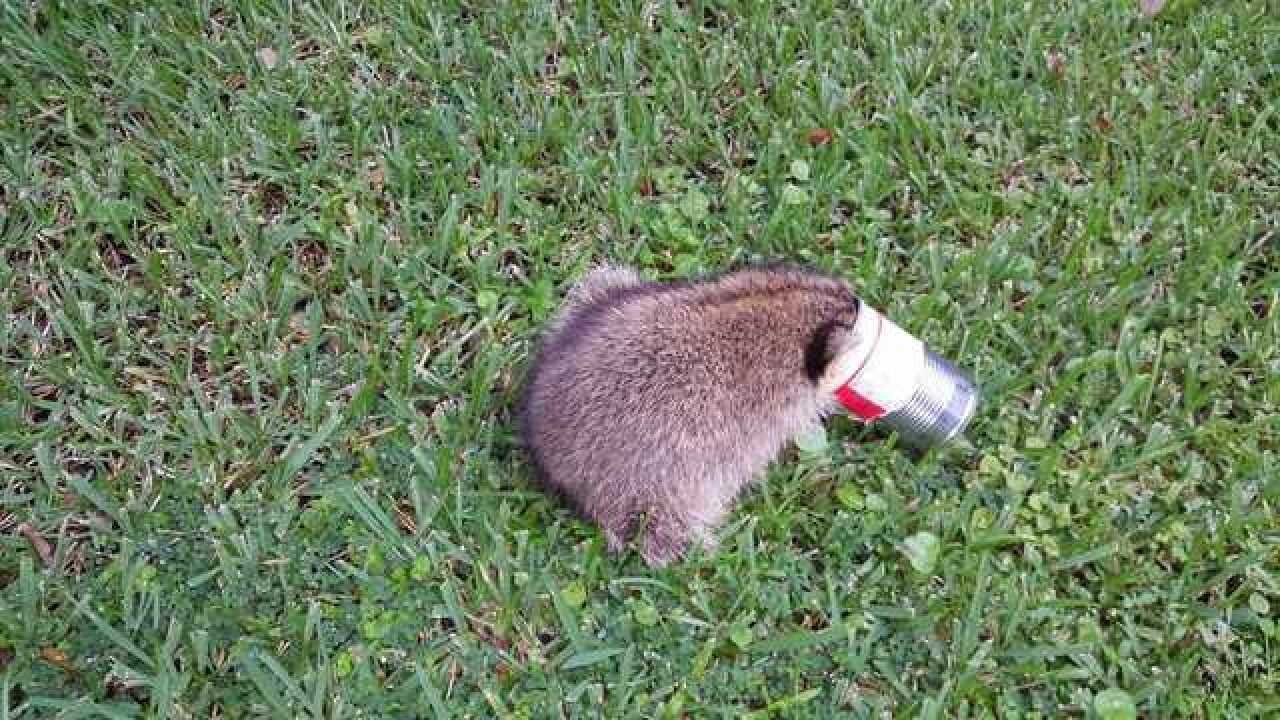 Ravioli can removed from raccoon's head
