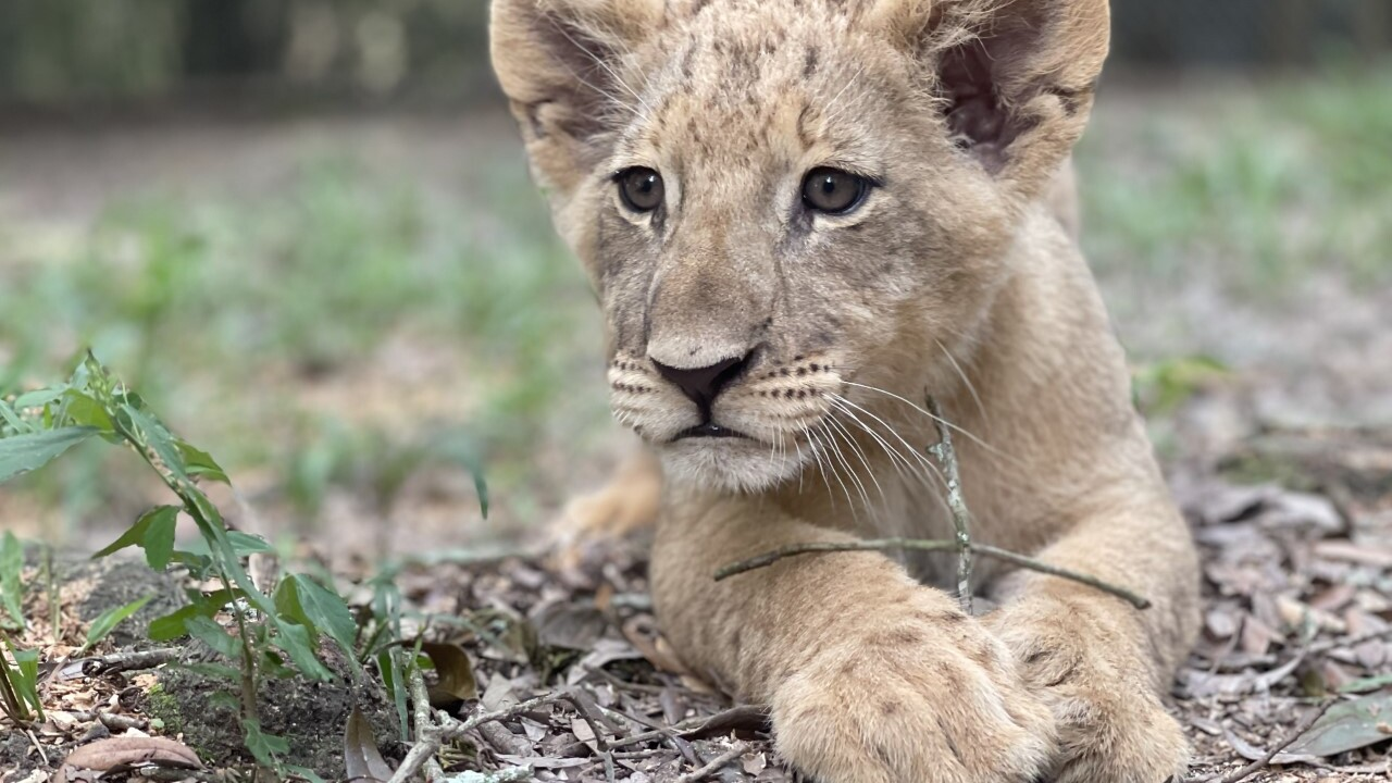 thumbnail_Lion Cubs 2.jpg