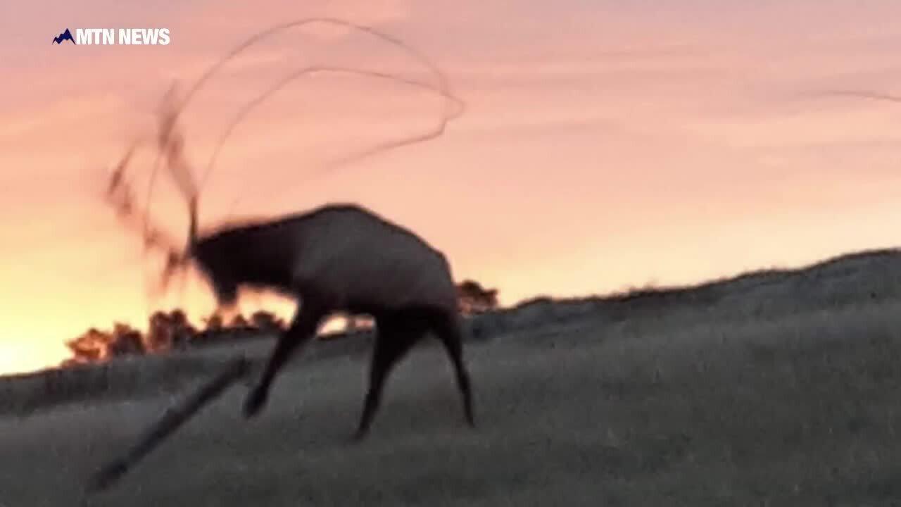 Stuck elk rescue