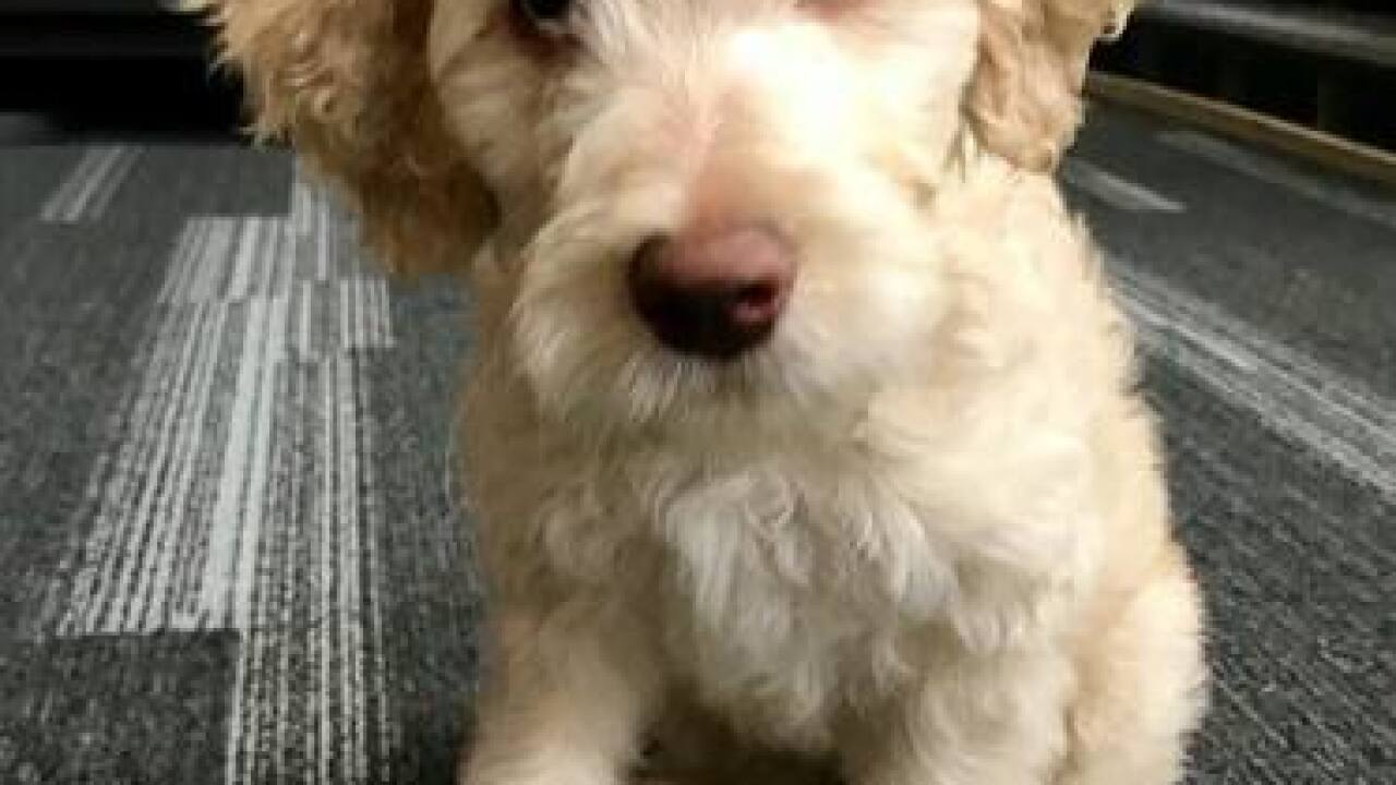 EMSA gets Goldendoodle puppy therapy dogs
