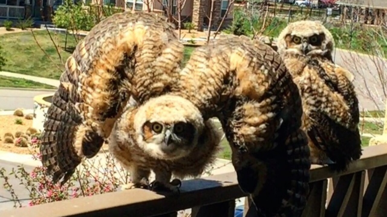 Great horned owls take over balcony in Littleton