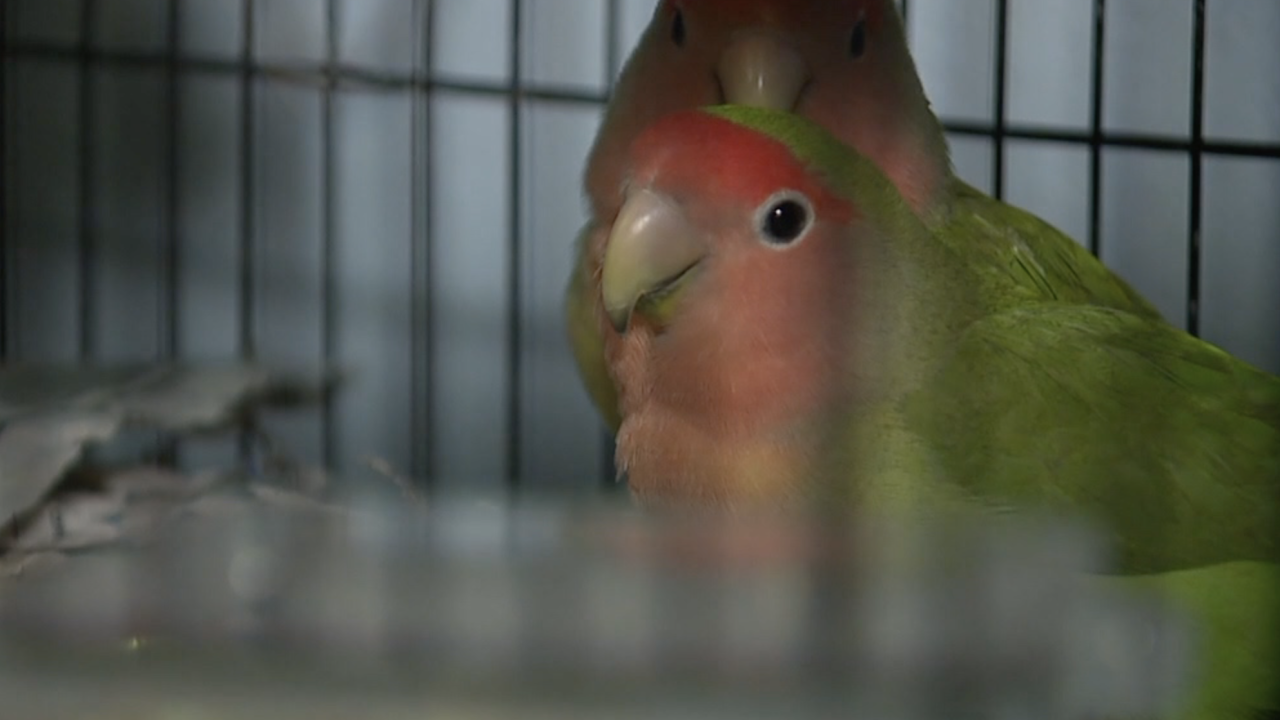 More than 600 lovebirds up for adoption after being rescued from Arizona home