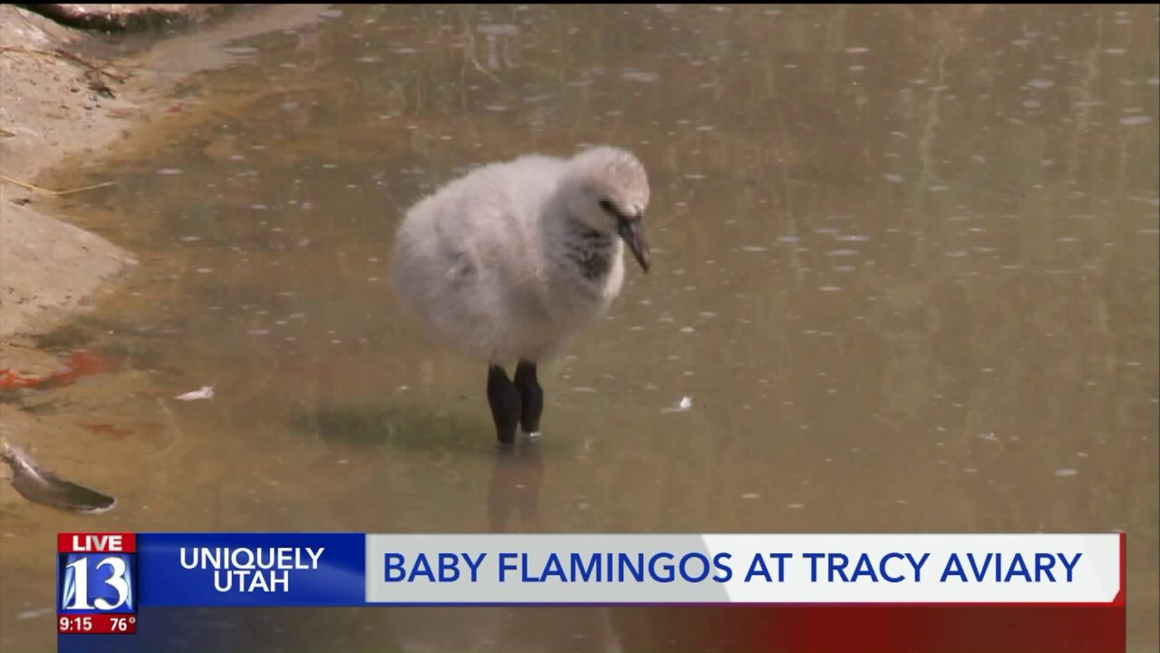 Uniquely Utah: Tracy Aviary's new flamingo chicks and the tale of Pink Floyd