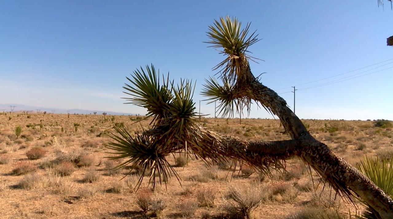 Joshua Trees, Tehachapi