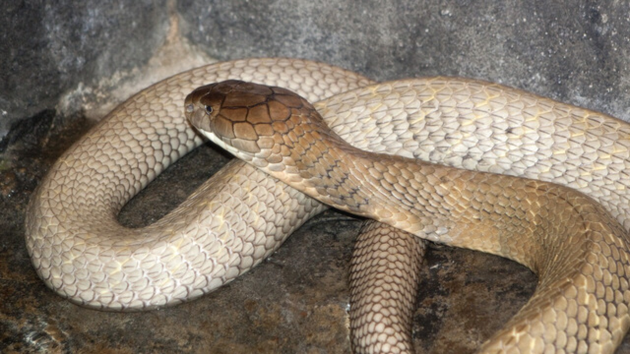 Denver Zoo's King Cobra diagnosed with cancer