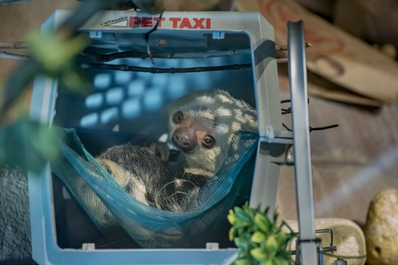 Sloth Nentas 11-2020-0109780 E (1).jpg