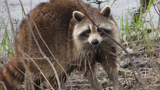 Rabies Alert issued in Pasco County after raccoon tests positive