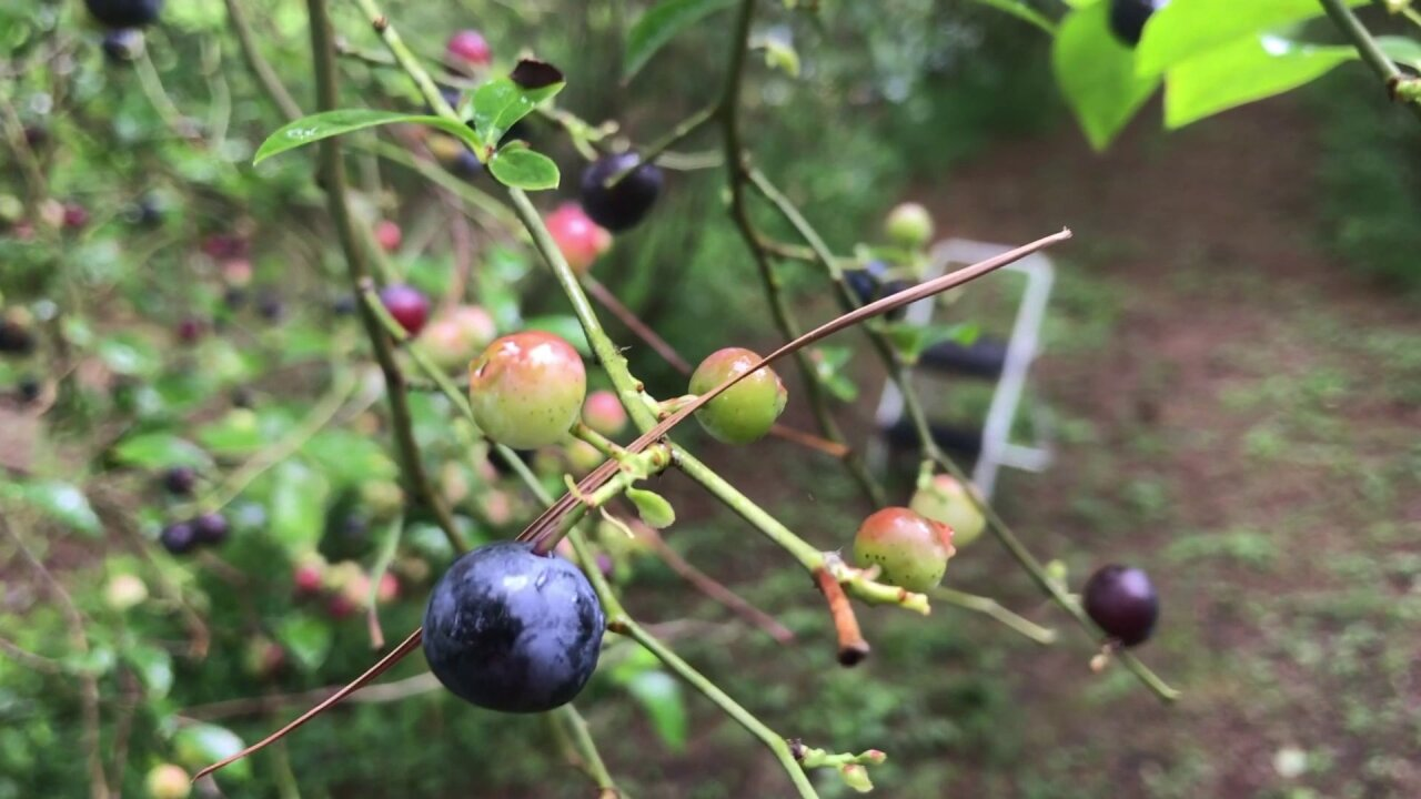 July is National Blueberry Month! Local farm says there are a couple weeks left to pick'em