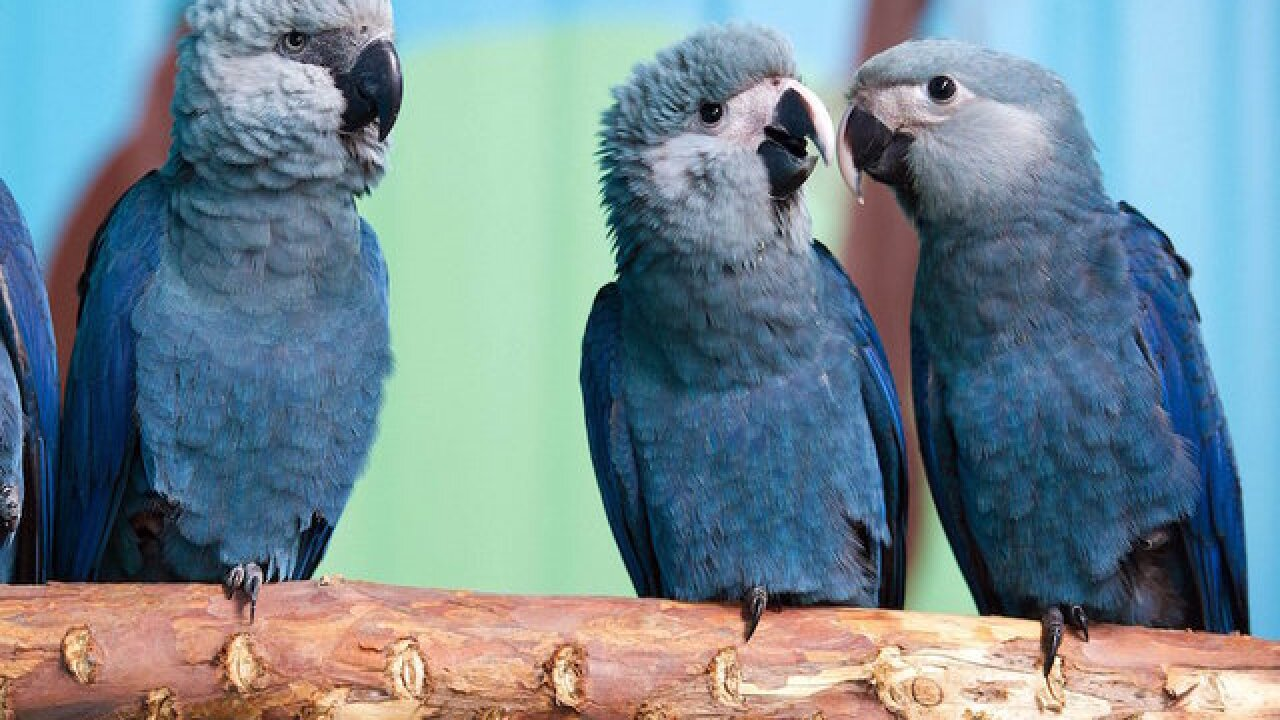 Blue bird from 'Rio' movie now extinct in the wild